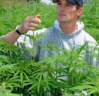 A farmer inspects a hemp crop.