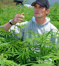 A farmer inspects a hemp crop.