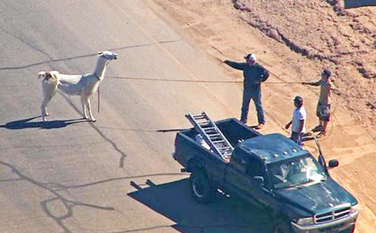 2 loose llamas lassoed after running amok in Sun City